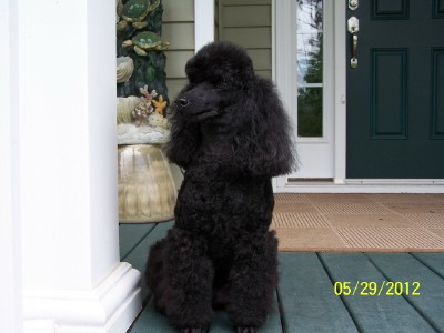 Classic/Eaglehill-South Miniature Poodles and Biewer